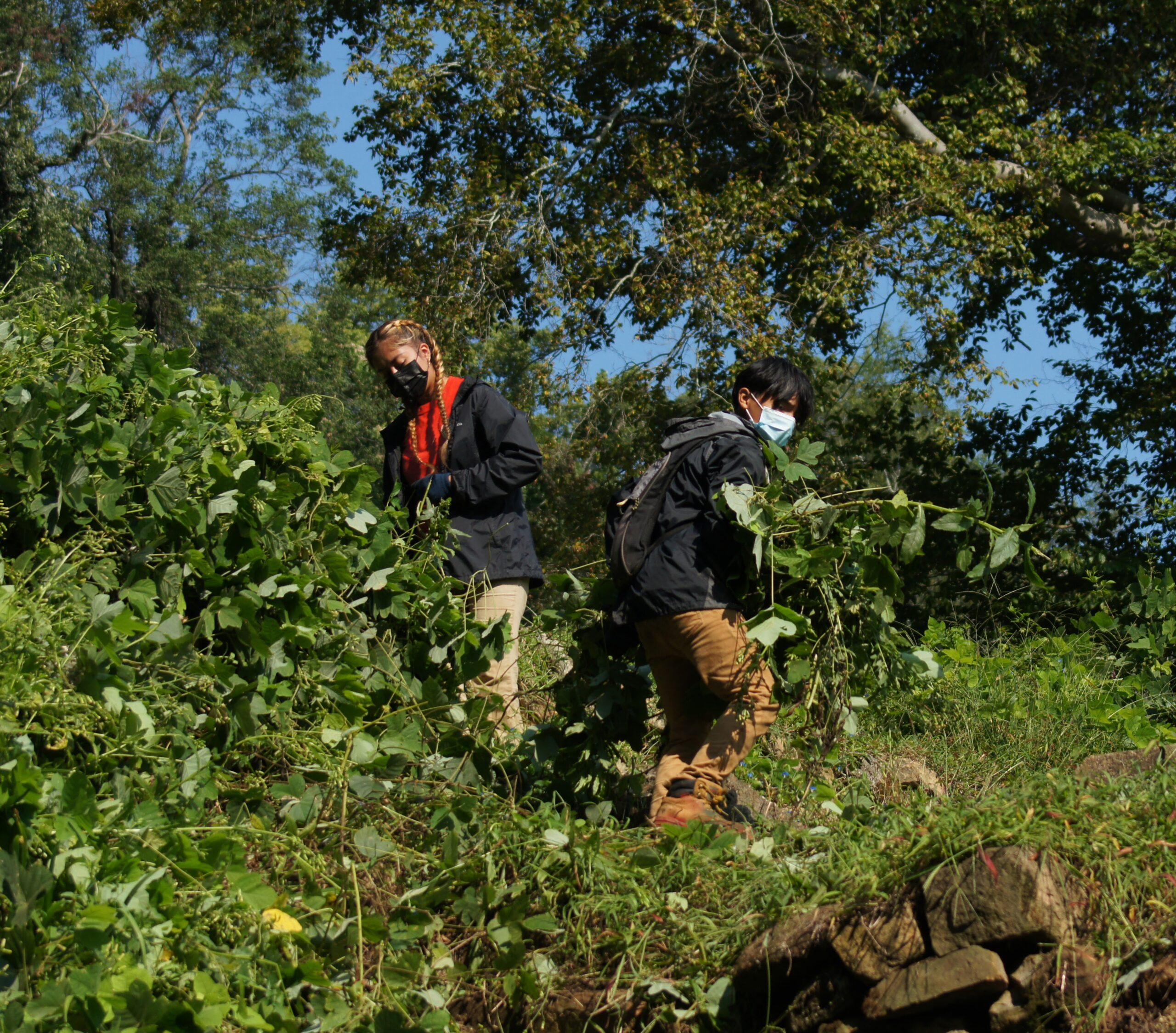 Amy pulling kudzu with Hector