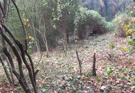Pollinator garden with a small area cleared, shows privet and kudzu
