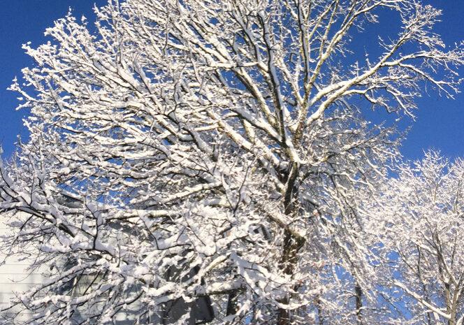 sun on snow filled trees