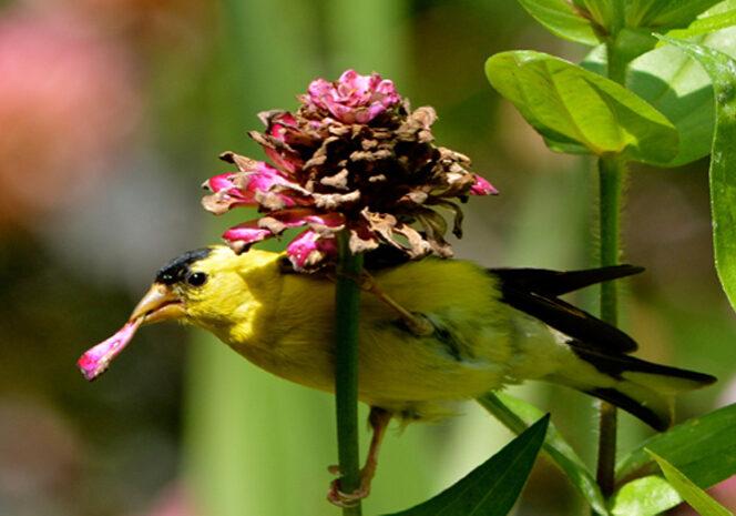 finch feeding on flower