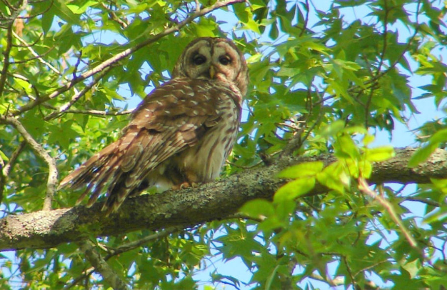 They're small, but they love it here thanks to you and the Interns: Meet your owl neighbors