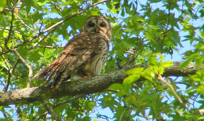Barred Owl sitting on tree branch during day time. Credit: Kevin Calhoon